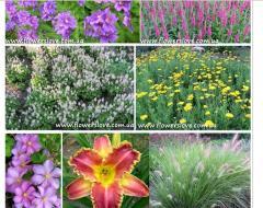 Цветы от я производителя многолетних цветов для сада, декоративных трав и пряных растений.