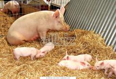 Cultivation of commodity pigs Cultivation of pigs