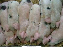 Pigs on sagination