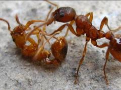 Вывести муравьев. Борьба с муравьями....