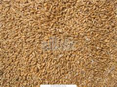 Переработка зерна пшеницы на крупу