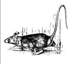 Дератизация. Борьба с крысами, мышами