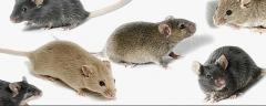 Deratization. Extermination of rats, mice
