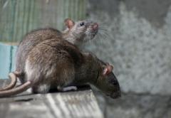 Extermination of rats and mice in a kvatira and
