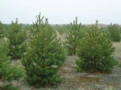 Доставка живых новогодних сосен и елок