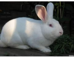 Купим кроликов живым весом,шкуру кролика