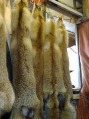 Шкуры лисицы мокросоленые(свежак)