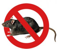 Deratization, extermination of rodents: rats and