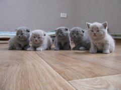 Котята британци(шотландци)
