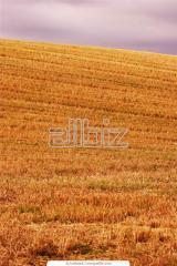 Пшеница, ячмень, рапс, подсолнечник, соя, кукуруза   . Гибридные сорта.чистое и сухое зерно