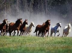 Продажа лошадей на мясо Житомир, Украина, Россия