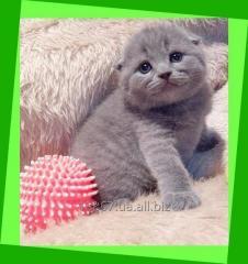 Котята вислоухие шотландские и британские.