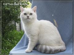 Разведение британских кошек драгоценных окрасов