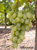 Виноград Бируинца (Агадаи*СВ20-366)