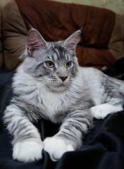 Продам котят породы Мейн- Кун