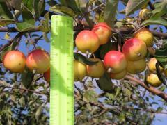 Принимаем яблоки здоровые и нестандартные...