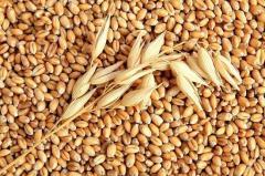 Услуги по скупке пшеницы и ячменя от 30 тонн