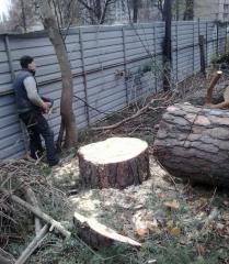 Cutting of trees in Kiev and Kiev region