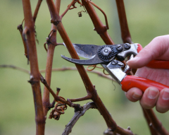 Cutting of grapes