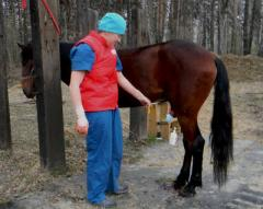 Castration of stallions Ukraine
