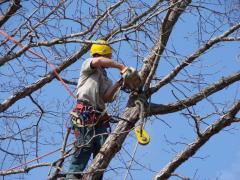 Промышленный альпинизм для обрезки деревьев Харьков