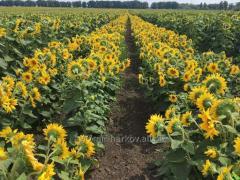 Совместное производство семян подсолнечника