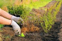 Услуги посадки живых изгородей