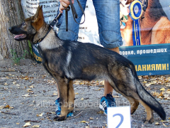 We give a bough of German shepherds in a