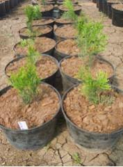 Выращивание экспериментальное с Osmocote Туя Smaragd Thuja occidentalis