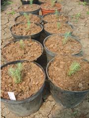 Выращивание экспериментальное Ель голубая Picea pungens