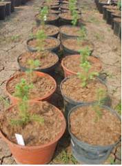 Выращивание эксперементальное Ель обыкновенная Picea abies