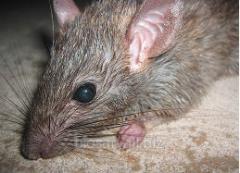 Уничтожение мышей, крыс