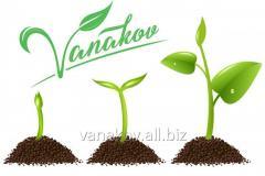 Доработка семян под посевной материал, очистка, обработка