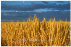 Forwarding of grain and oil-bearing crops