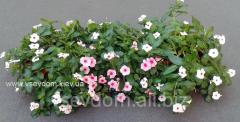 Seasonal gardening by annual plants