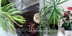 Care of plants (mastiff.)