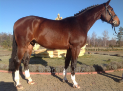 Breeding horses of the Hanover breed,