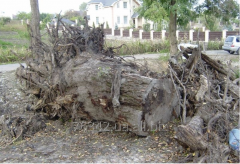 Korchevka, removal of stubs of trees