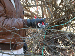 Cutting down of fruit-trees and bushes