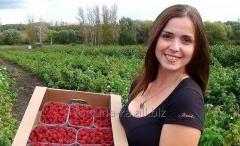 Трудоустройство в Польше Сборщики малины