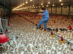 Трудоустройство во Франции Разнорабочие на птицефабрику