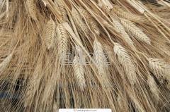 Processing grain