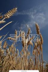 Storage of grain