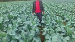 Cultivation of cabbage of broccoli