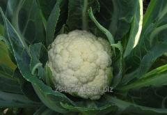 Cultivation of a cauliflower