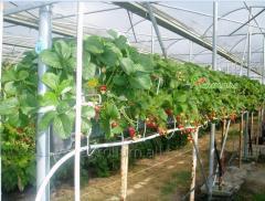 Теплицы для выращивания земляники( клубники)
