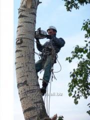 Снос деревьев без помощи спецтехники. Работают арбористы