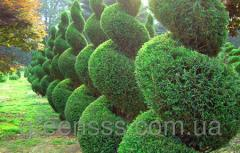 Pruning and shaping ornamental trees