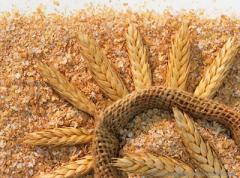 Converting of grain-crops to barley grain