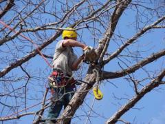Спил и обрезка деревьев. Арбористика. Промышленные альпинисты